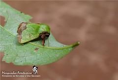 Mariposa - Parasa flora (Limacodidae) (Marquinhos Aventureiro) Tags: brazil brasil flora wildlife natureza moth vida mariposa floresta selvagem limacodidae parasa hx400 marquinhosaventureiro