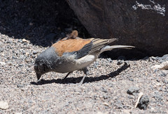 Red-backed Sierra-Finch (Ralph Green) Tags: chile bird southamerica birds reservanacionallosflamencos salardetara redbackedsierrafinch phrygilusdorsalis cometocinodedorsacastano