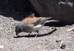Red-backed Sierra-Finch (Ralph Green) Tags: chile bird southamerica birds reservanacionallosflamencos salardetara redbackedsierrafinch phrygilusdorsalis cometocinodedorsacastano