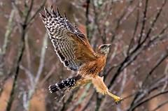 After the Storm (Explored) (dianne_stankiewicz) Tags: outdoors nature pattern feathers wings bird raptor redshoulderhawk hawk flight fantasticnature