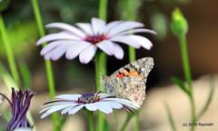 DSC_0136 (rachidH) Tags: flowers vanessa nature cosmopolitan blossoms egypt butterflies insects bee cairo papillon daisy blooms dame africandaisy cynthia paintedlady osteospermum vanessacardui blueeyeddaisy vanessedeschardons labelledame vanesse rachidh