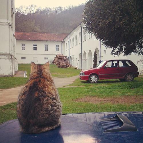 The secret life of a monastery cat Ravanica monastery, Vrdnik