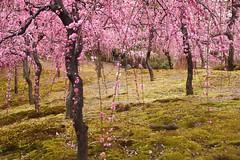 -4 (nobuflickr) Tags: flower nature japan kyoto       prunusmumeformpendula jounanguushrine 20160226dsc00115