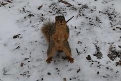 Squirrels in Ann Arbor at the University of Michigan (March 1, 2016) (cseeman) Tags: squirrels annarbor michigan animal campus universityofmichigan umsquirrels03012016 winter eating peanut acorns marchumsquirrel climber climbingsquirrel overcast gobluesquirrels umsquirrel foxsquirrels easternfoxsquirrels michiganfoxsquirrels universityofmichiganfoxsquirrels