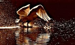 ~~Eclaboussures de soleil...~~ (Jolisa) Tags: birds eau reflets contrejour cygnes oiseaux tang claboussures gouttelettes mars2014