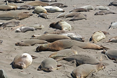 Elephant Seal 1 (SamLleva) Tags: california beach mammal coast sand pacific highway1 seal hearstcastle pup cambria elephantseal molting