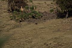 20160106-LUK_6720.jpg (Lukas-Ebert) Tags: afrika vogel thiopien trekken simiens beardedvulture 2wheelssouth