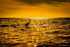 Thank you my Friend (JDS Fine Art & Fashion Photography) Tags: sunset bird nature water beauty landscape florida dreamy inspirational topf150 egret soe elegance oceanscape auduban