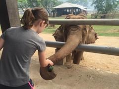 Elephant Feeding (kcosgrove) Tags: mai chiang