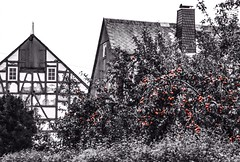 Forbidden Fruit (KWinters Photography) Tags: old blackandwhite bw white black color building monochrome fruit architecture germany deutschland nikon outdoor farm structure apples nikkor hintofcolor d5500