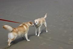 All Photos-9302 (jlh_lunasea) Tags: dog beach romeo manzanita huskador