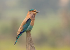 Indian Roller - Coracias benghalensis (Gary Faulkner's wildlife photography) Tags: indianroller indianbirds