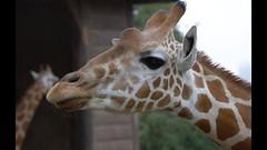 Sydney (geddesvictoria) Tags: animal aperture sydney australia giraffe tarongazoo