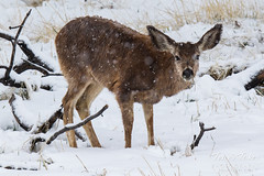 April 17, 2016 - A very wet mule deer in the snow at the Arsenal. (Tony'sTakes)