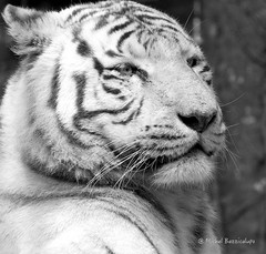Tigre blanc (MBD photographies (Ile de France)) Tags: borderfx