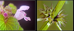 Lamium purpureum Rote Taubnessel (Karl Hauser) Tags: flowers flower germany deutschland flora pflanzen wildflowers lamium lamiumpurpureum badenwrttemberg weissach dofstacking kniebiskarle