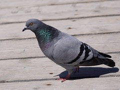 Pigeon - Sony A6300 (jdoakey) Tags: bird eye spain pigeon sony wing beak feathers a6300 sonya6300