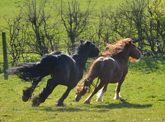 Greenholme Hawk and Drumnmer (inglewhitenatives) Tags: black ginger pony chestnut colts ponies cob colt gallop galloping fellpony nativepony greenholme poniesplaying