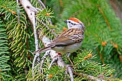 Chipping Sparrow (--Anne--) Tags: trees nature wildlife sparrow sparrows chipping