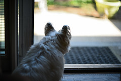 looking out into her World (Dotsy McCurly) Tags: world door dog cute nature yard lens nikon dof looking bokeh screen d750 handheld manual russian mode cairnterrier ruffy helios40285mmf15