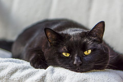 Frühjahrsmüdigkeit - Spring Fewer (pwendeler) Tags: cat blackcat chat gato katze chatnoir gatonegro schwarzekatze frühjahrsmüdigkeit sonynex7 springfewer