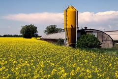 Campo di colza... (Annamaria Rizzi) Tags: silo campo agricoltura colza