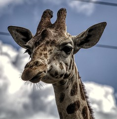 Head in the clouds (Jon_Wales) Tags: england clouds zoo somerset giraffe ark noahs