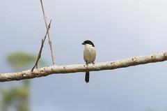 long-tailed shrike (arcibald) Tags: bird birds philippines aves baguio shrike benguet campjohnhay laniusschach longtailedshrike