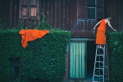 Colors of Chiang Mai (Color Amnesia) Tags: orange house color colour green cut monk scissors hedge chiangmai ladder cloth amnesia