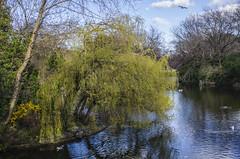 Willow in the Park (seamusruizearle) Tags: county ireland dublin irish college trinitycollege trinity select kildare countykildare