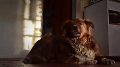 Classic Shizandra (Jo-We Got Rain-Yippee!!!) Tags: morning light dog pet classic kitchen loving female shadows protective companion affectionate ddc 1628 thingsthatmakemehappy wk14 theflickrlounge shizandra chocolatebordercolliemix