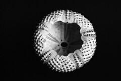Urchin (Apionid) Tags: film rollei nikon urchin fm2n retro400s day96366 366the2016edition 3662016 5apr16