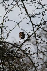 Robin (nataliemarchant) Tags: robin birds yorkshire eastyorkshire yorkshirewildlifetrust northcavewetlands