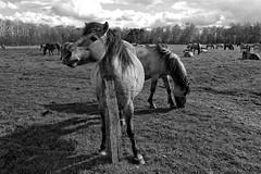 Wild Horses in black-and-white - Herd - 2016-025_Web (berni.radke) Tags: horse pony herd nordrheinwestfalen colt wildhorses foal fohlen croy herde dlmen feralhorses wildpferdebahn merfelderbruch merfeld przewalskipferd wildpferde dlmenerwildpferd equusferus dlmenerpferd dlmenpony herzogvoncroy wildhorsetrack