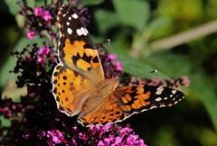 Distelfalter (Vanessa cardui) (Hugo von Schreck) Tags: macro butterfly insect falter makro insekt schmetterling vanessacardui distelfalter tamronspaf180mmf35dildifmacro11 canoneos5dmarkiii onlythebestofnature hugovonschreck