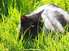 Kocio Wiosna Frhling Spring (arjuna_zbycho) Tags: city pet cats pets cute animal animals cat blackcat austria sterreich spring kitten feline chat kitty kittens tuxedo gato stadt tuxedocat baden gatto katzen haustier kater niedersterreich tier frhling wienerwald wiosna miasto badenbeiwien thermenregion gattini rakousko hauskatze kocio kurstadt luftkurort biosphaerenpark