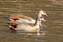 HNS_1635 Nijlgans : Ouette d'Egypte : Alopochen aegyptiacus : Nilgans : Egyptian Goose