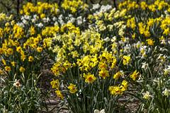 Holland - Narcissus Daffodil 2016-4 (robdeheer) Tags: flowers sun holland canon spring nederland thenetherlands explore daffodil paysbas zon bloemen narcis niederlande tegenlicht narcissen voorjaar bulbfields frhjahr hollanda frhlingszeit narcissusdaffodil updatecollection canon7dnoordholland