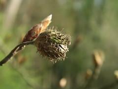 Beech - old meets new (Waldrebe) Tags: tree nature natur beech buche buchecker