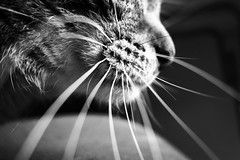 Star Whiskers (iuuma) Tags: blackandwhite cat whiskers