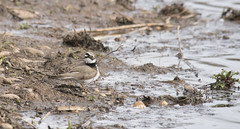 Little Ringed Plover (lord wardlaw) Tags: lake west bird mill mud wildlife sony sigma forge midlands littleringedplover rspbsandwellvalley