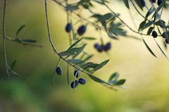 olives (SS) Tags: light italy plant tree nature leaves tivoli countryside dof pentax bokeh branches olives lazio k5 olivetree 2015 smcpentaxm50mmf17 ss stradadipomata undertheolivetrees