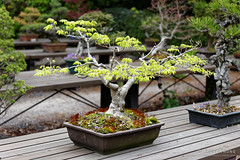 20160413-31-Bonsai at Kyoto Botanic Gardens (Roger T Wong) Tags: travel trees holiday japan kyoto bonsai botanicgardens 2016 canonef70200mmf4lisusm canon70200f4lis canoneos6d rogettwong