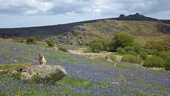 Holwell Lawn (Mark A C Photos (Downloadable)) Tags: uk flowers blue wild horse dog english bluebells spring cross country lawn may course devon equestrian wilf holwell