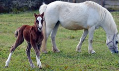 DSC_0555 - Foal and Mare on the Farm Today (John Carson Essex) Tags: thegalaxy supersix rainbowofnature thegalaxystars