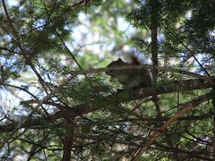Red pine Squirrel b vocalizing (thepiper351) Tags: wild cute forest woodland spring woods scenery fuzzy maine adorable timberland tamiasciuris husdsonicus