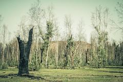 IMG_4673 (gaujourfrancoise) Tags: nt australia downunder northernterritory australie kakadunationalpark deadtrees arbresmorts gaujour
