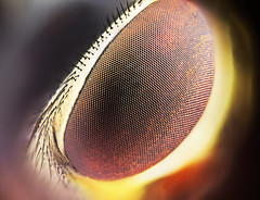 Burning Eye (jmq847) Tags: macro eye fly