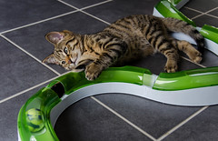 DSC_0081-1-2 (chat_44) Tags: cat chat animaux yoshi chaton flin miaou tigr rwing