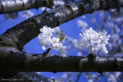Fiori di ciliegio (succedeancheame) Tags: primavera piemonte cielo fiori petali ciliegi pecetto